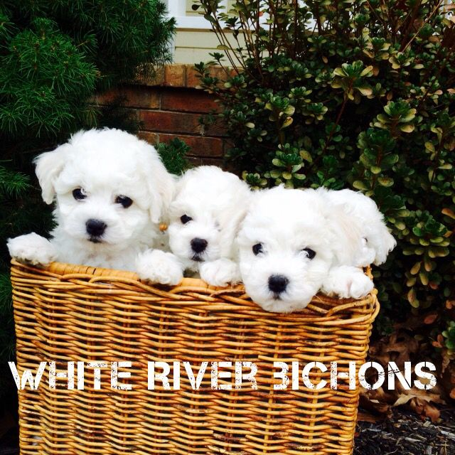 Bichon Frise Puppies For Sale Arkansas Ready For Christmas 2015
