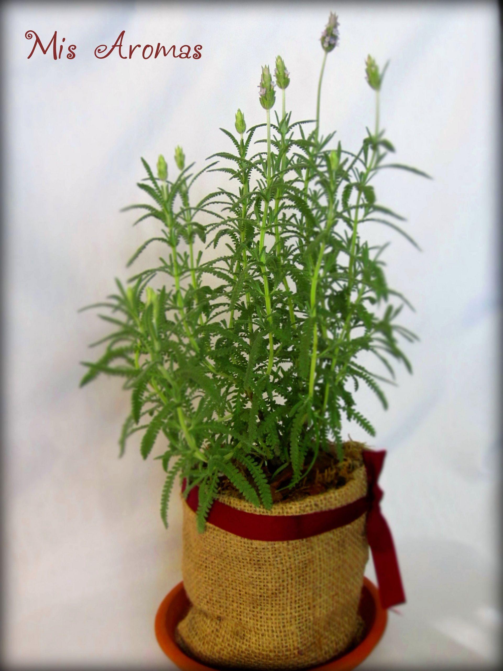 Centros de mesa para casamientos con plantas arom ticas en for Plantas aromaticas en macetas