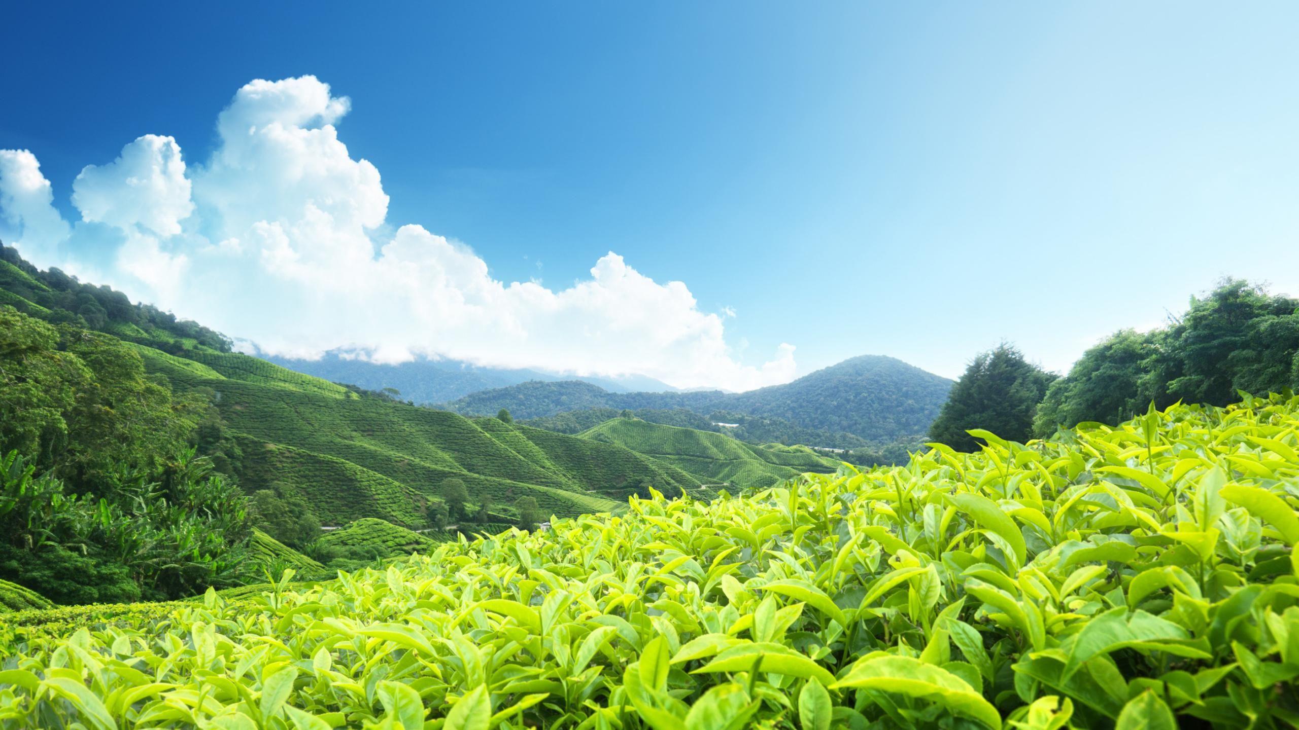 Find out: Tea Hills wallpaper on http://hdpicorner.com/tea-hills ...