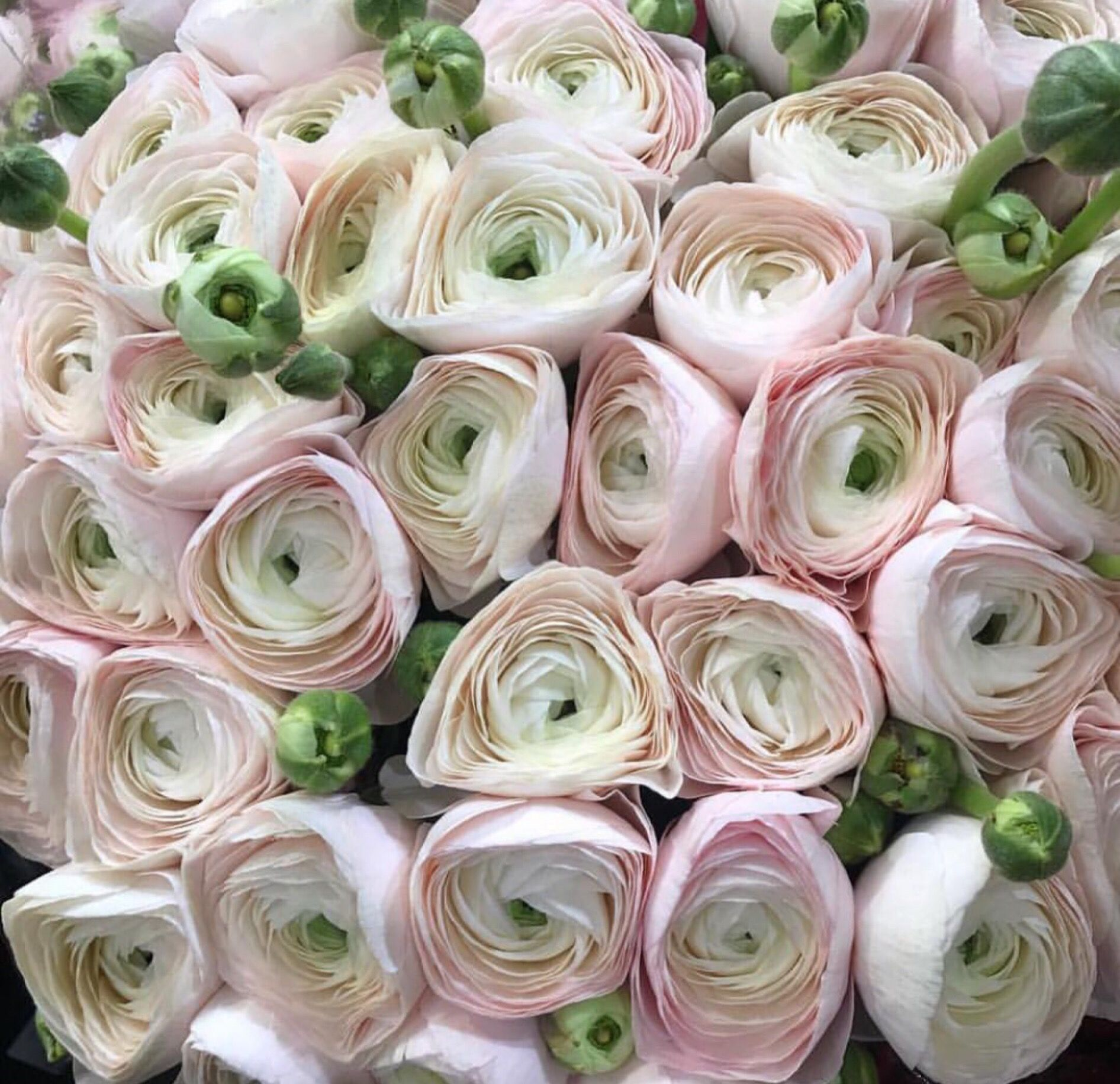 Flowers Ranunculus Flower Lover Flower Lights Flowers