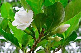Essential Advice On Gardenia Bonsai Care Plants Gardenia Care