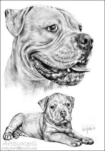 American Bulldog Matthias Pencil Drawing A3 Art By Kerli 2008