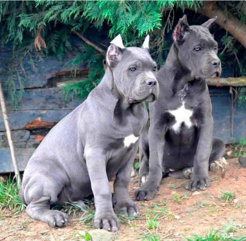Cane Corso Dogs And Puppies For Sale In Liverpool Uk Cane Photos Cane Corso Dogs Black Animal Black Background Five C In 2020 Corso Dog Cane Corso Cane Corso Puppies