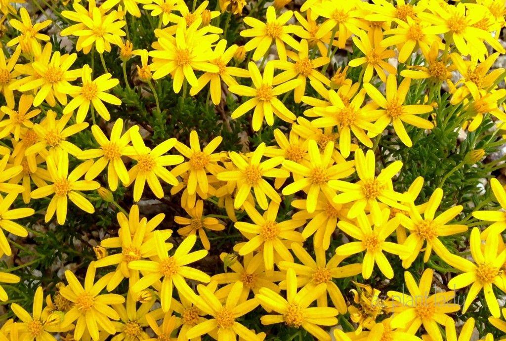 Flowering perennials zone 5 gallery flower decoration ideas zone 5 garden perennials flowers mightylinksfo damianita gardening pinterest deer repellant flower and plants damianita mightylinksfo mightylinksfo