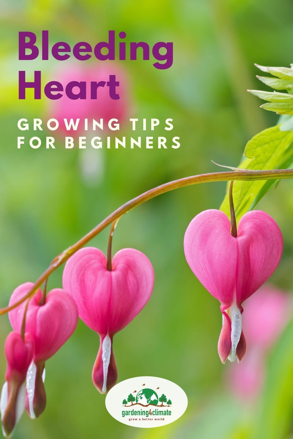 The Bleeding Heart Plant Growing Tips In 2020 Bleeding Heart Plant Bleeding Heart Bleeding Heart Flower