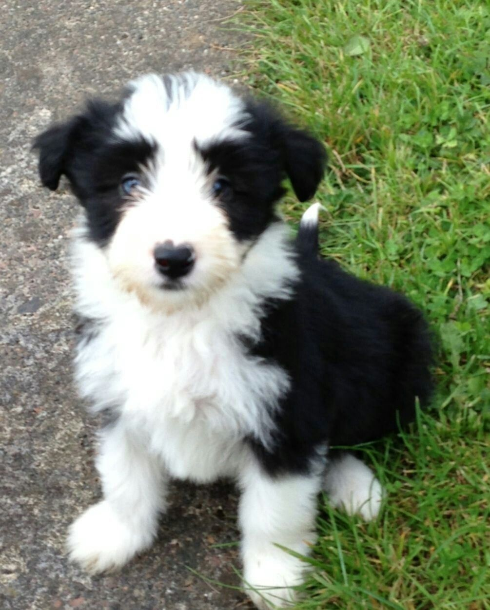 Bearded Collie Pup Bearded Collie Puppies Collie Puppies
