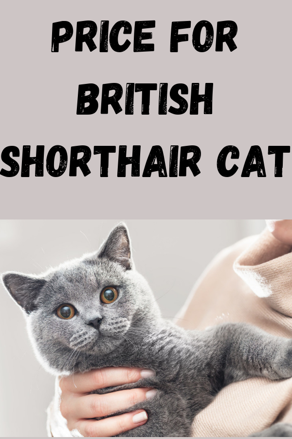 British Shorthair Costs In The Us Uk And Other Countries 2020 With Images British Shorthair British Shorthair Cats British