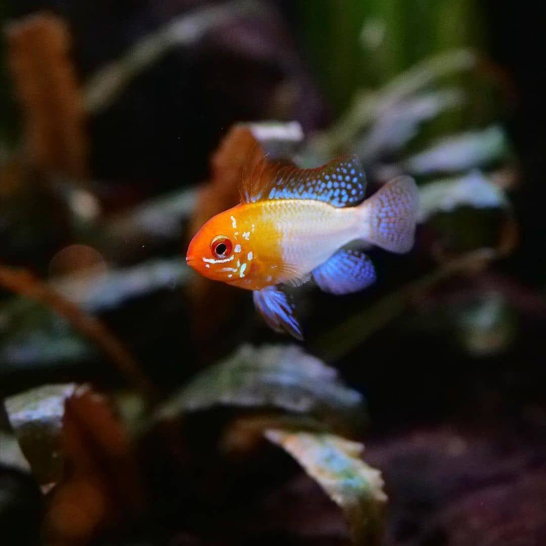 Freshwater Fish Community On Instagram Repost From Aquagrow Mikrogeophagus Ramirezi In 2020 Freshwater Fish Fresh Water Fish Tank Tropical Freshwater Fish
