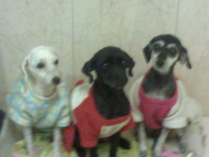 Amy lee, Sury e Satine minhas cadelas lindas.