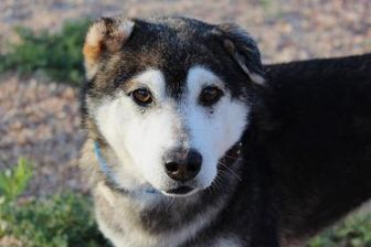 Husky Mix Dog For Adoption In Colorado Springs Colorado Adam Pets Kitten Adoption Dog Adoption