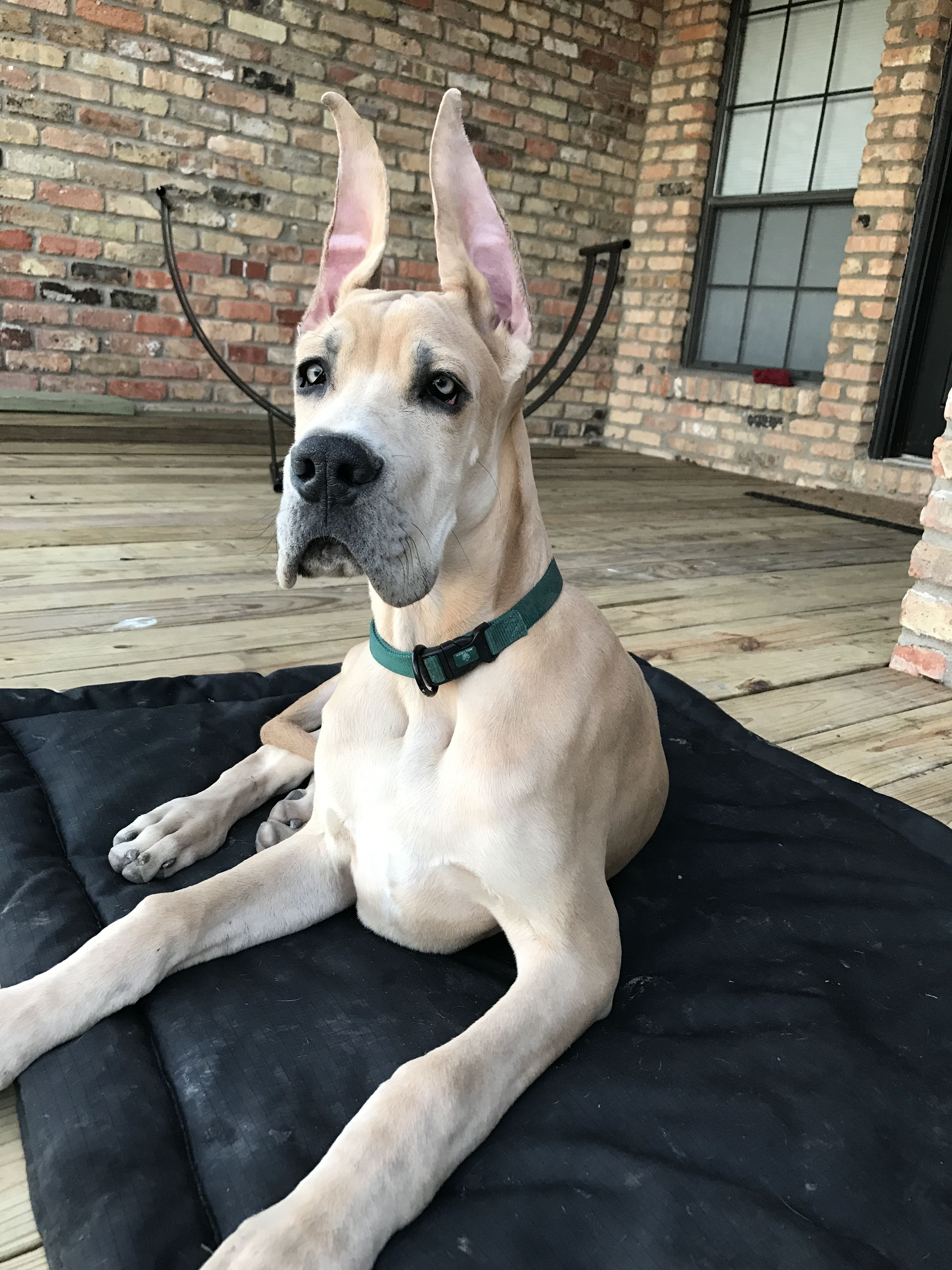 Love Those Ears That Face So Precious Great Dane