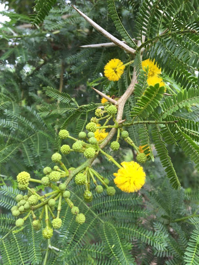 Acacia Karroo Presently Known As Vachellia Karroo Sweet Thorn Cape Karoo Mimosa Trees To Plant Flowers Photography Yellow Flowers