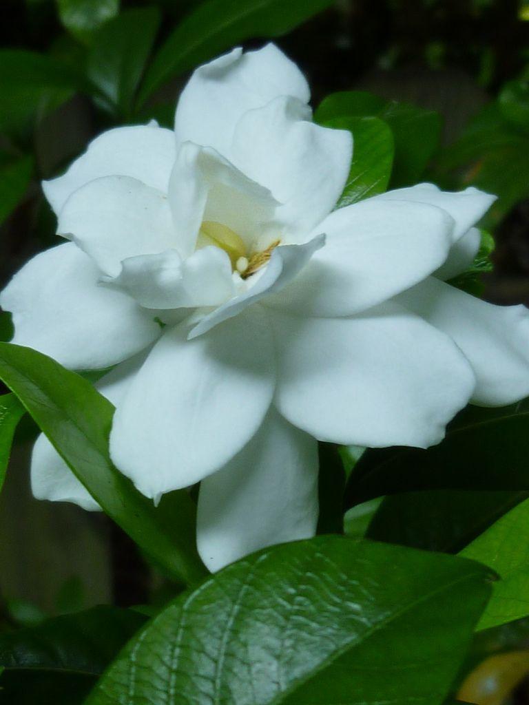 Common Gardenia Gardenia Jasminoides Con Imagenes Gardenias