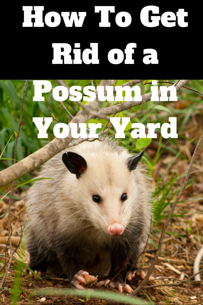 How To Get Rid of a Possum in Your Yard (With images) | Possum