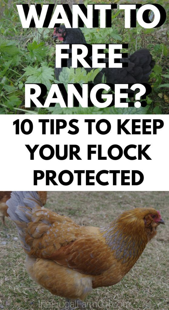 Why We Choose to Free Range Chickens- Even After a Raccoon ...
