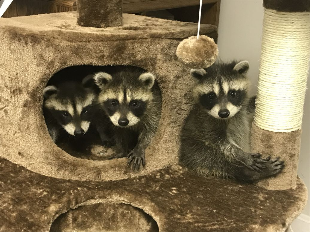 Friday Friends Triplets Baby raccoon, Triplets, Baby play