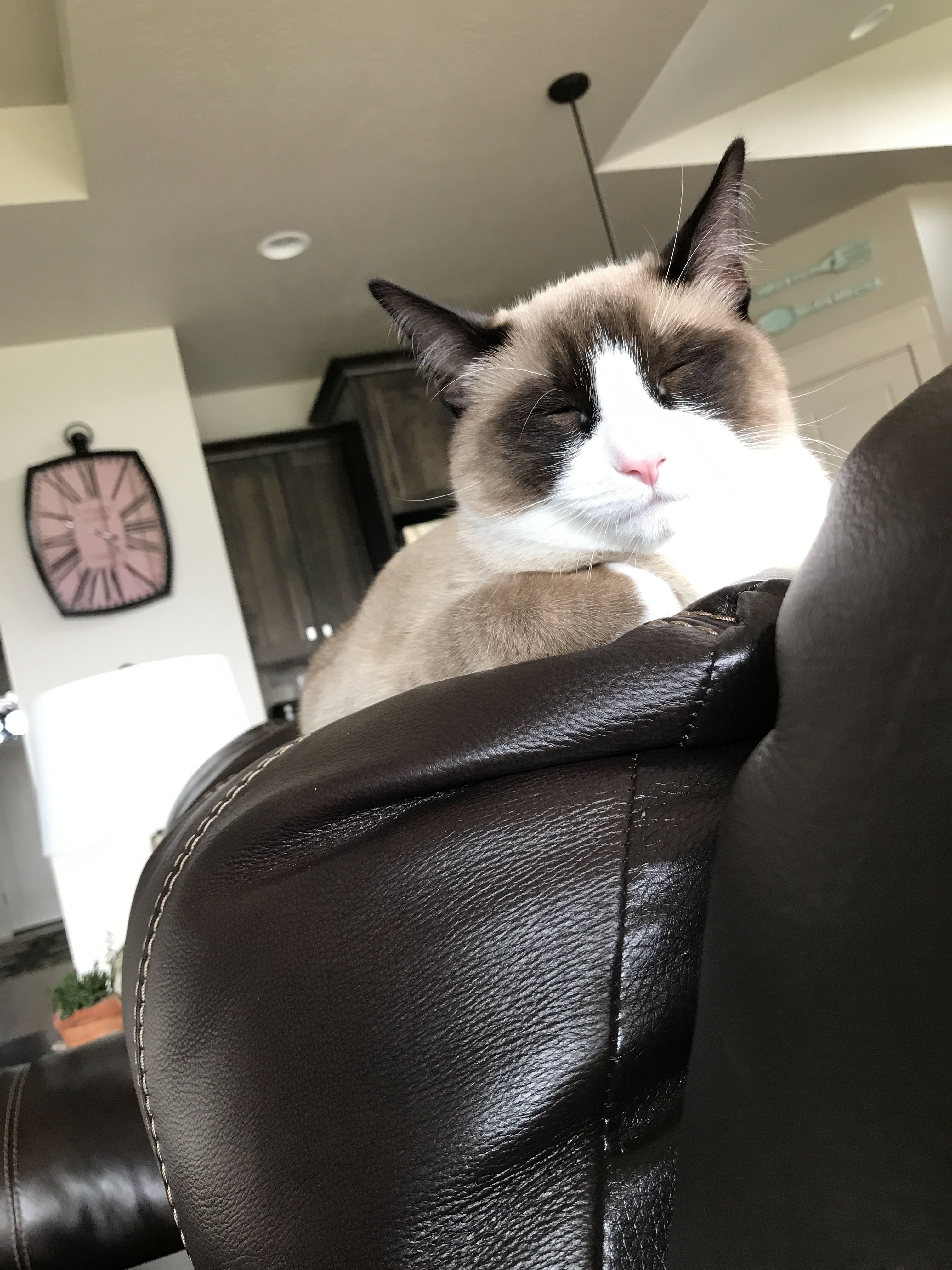 Snowshoe Kittens For Sale In Pa