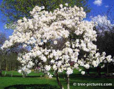 Star Magnolia Tree Magnolia Tree Picture Magnolia Trees Blooming Trees White Magnolia Tree