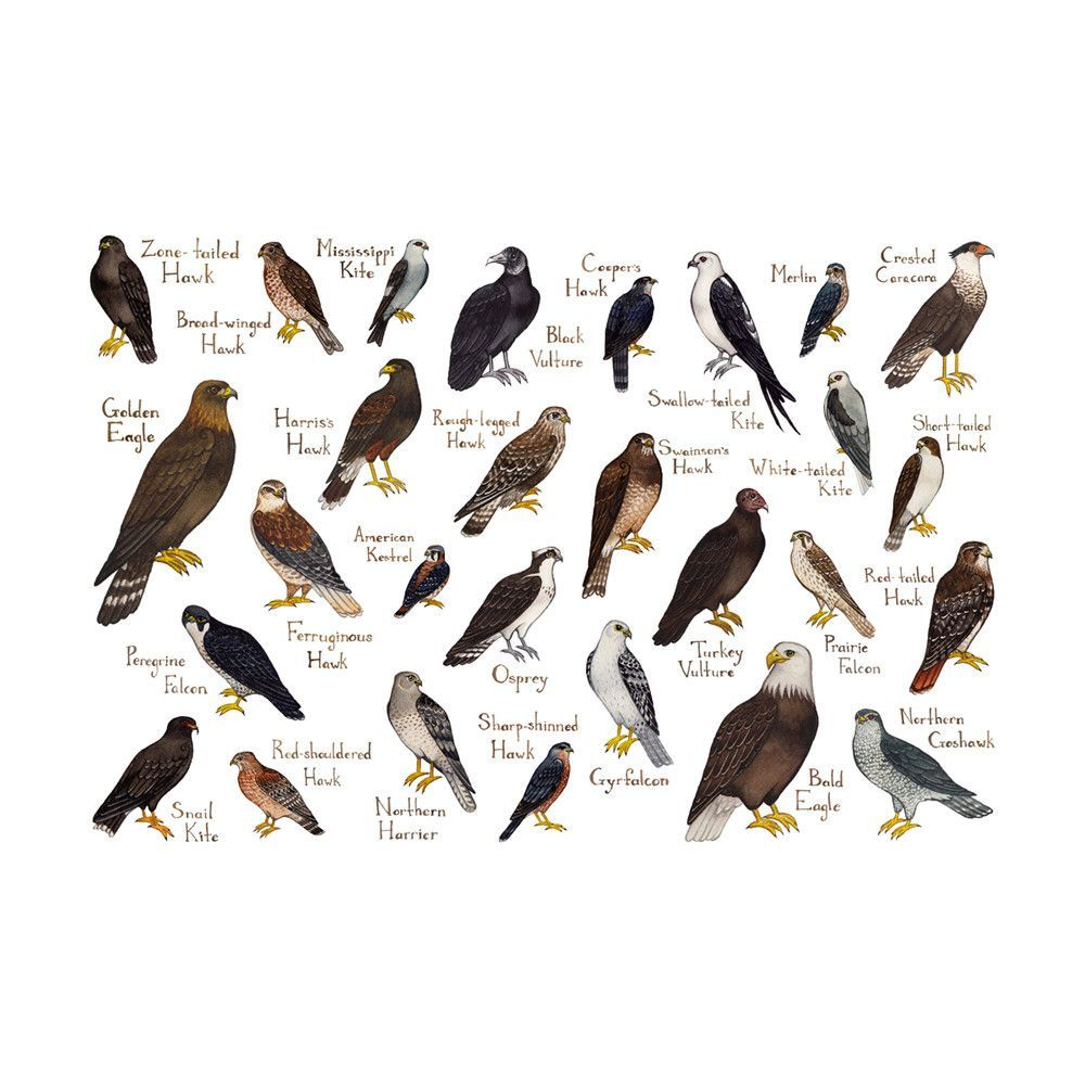 Raptors of north america field guide art print watercolors