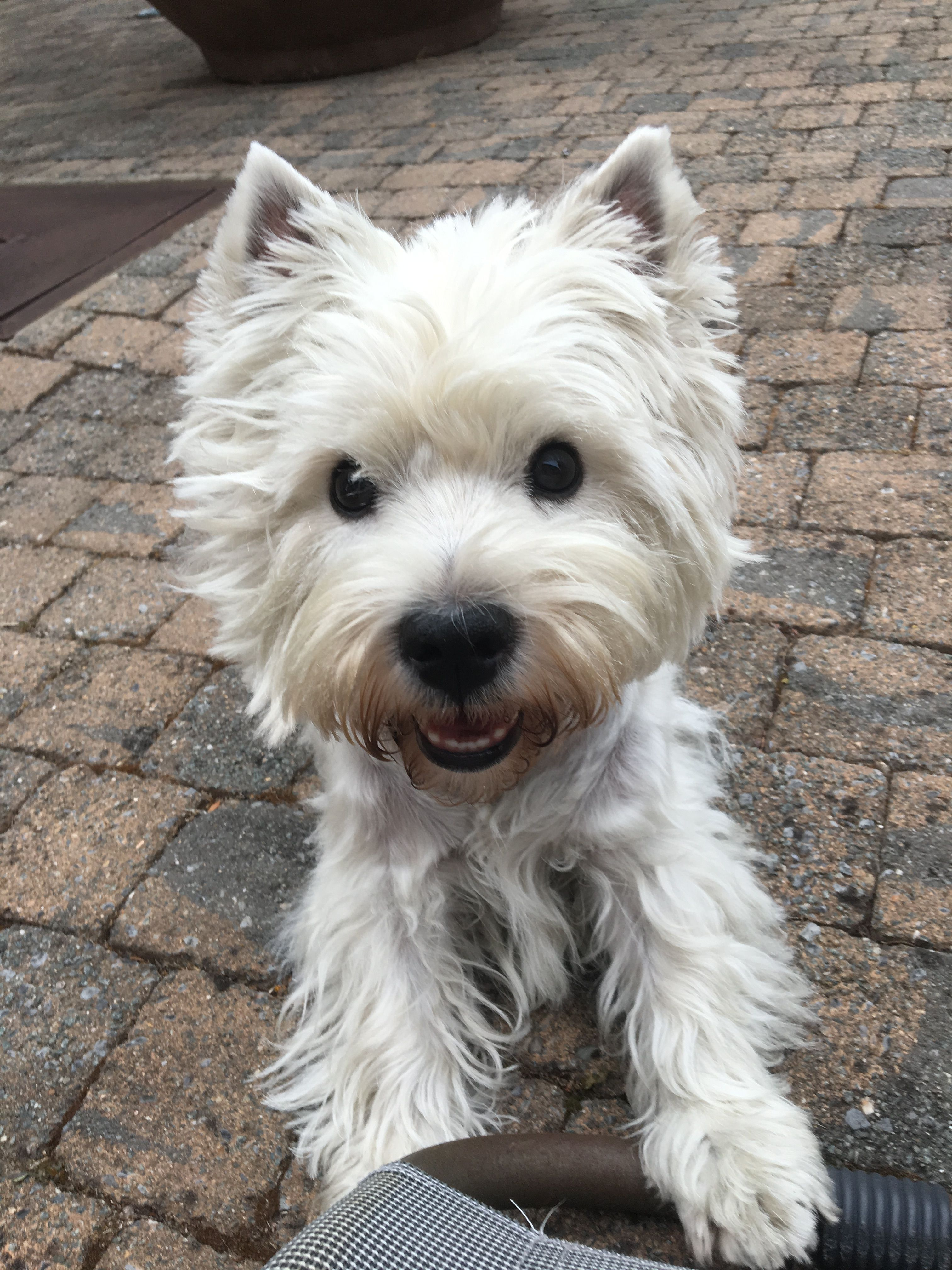 Pin By Jim Young On Westies With Images Westie Puppies Westie Dogs Westies