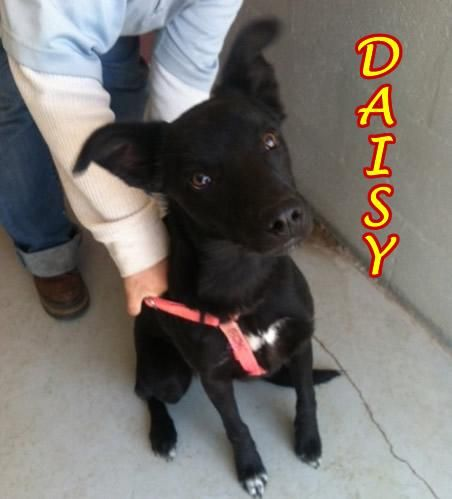 Meet DAISY, a Petfinder adoptable German Shepherd Dog Dog   Alpine, TX   Daisy (formerly known as Carmel) came to the shelter when she was just 8 weeks old. She was adopted...