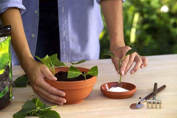hortensien durch stecklinge vermehren garten und pflanzen pinterest stecklinge hortensien. Black Bedroom Furniture Sets. Home Design Ideas