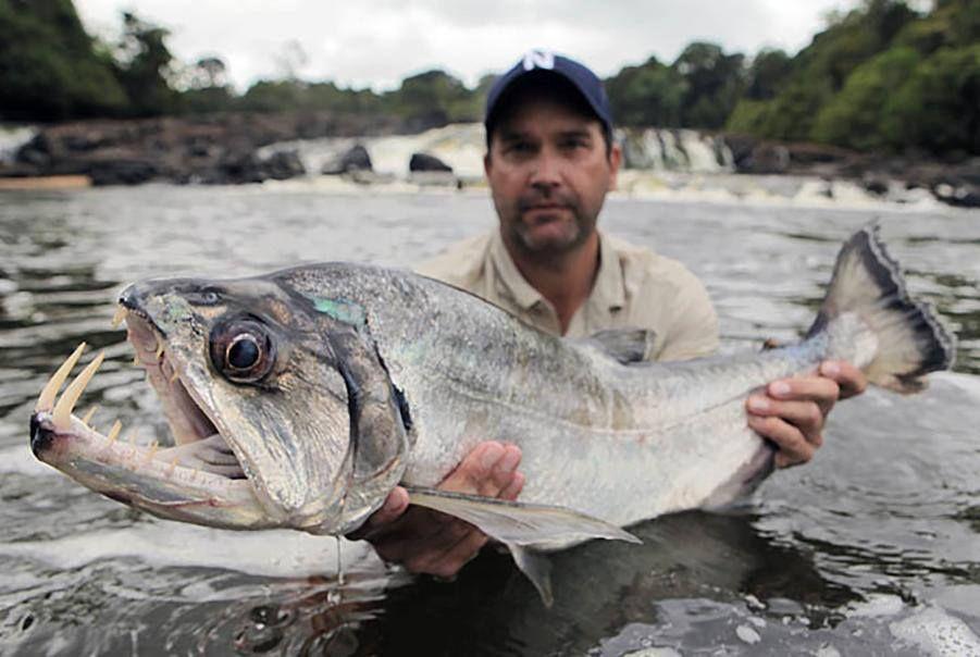 Payara vampire fish hydrolycus scomberoides amazon for Vampire fish for sale