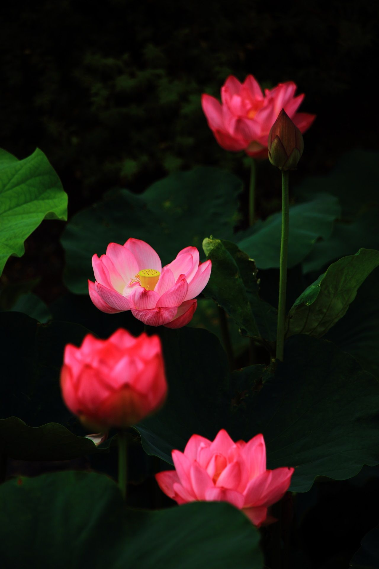 Lotus Flower Of Toji Temple In Kyoto Japan 蓮の花 美しい花 ハスの花