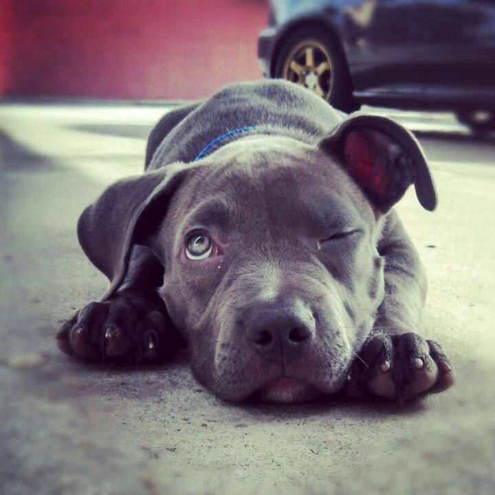 Pin By Mary Poppins On Cutecritters Dogs Dogs Puppies Pitbulls