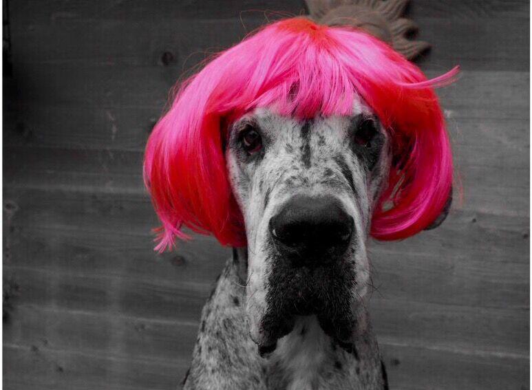 Deutsche Dogge mit Haare für Leckerlis