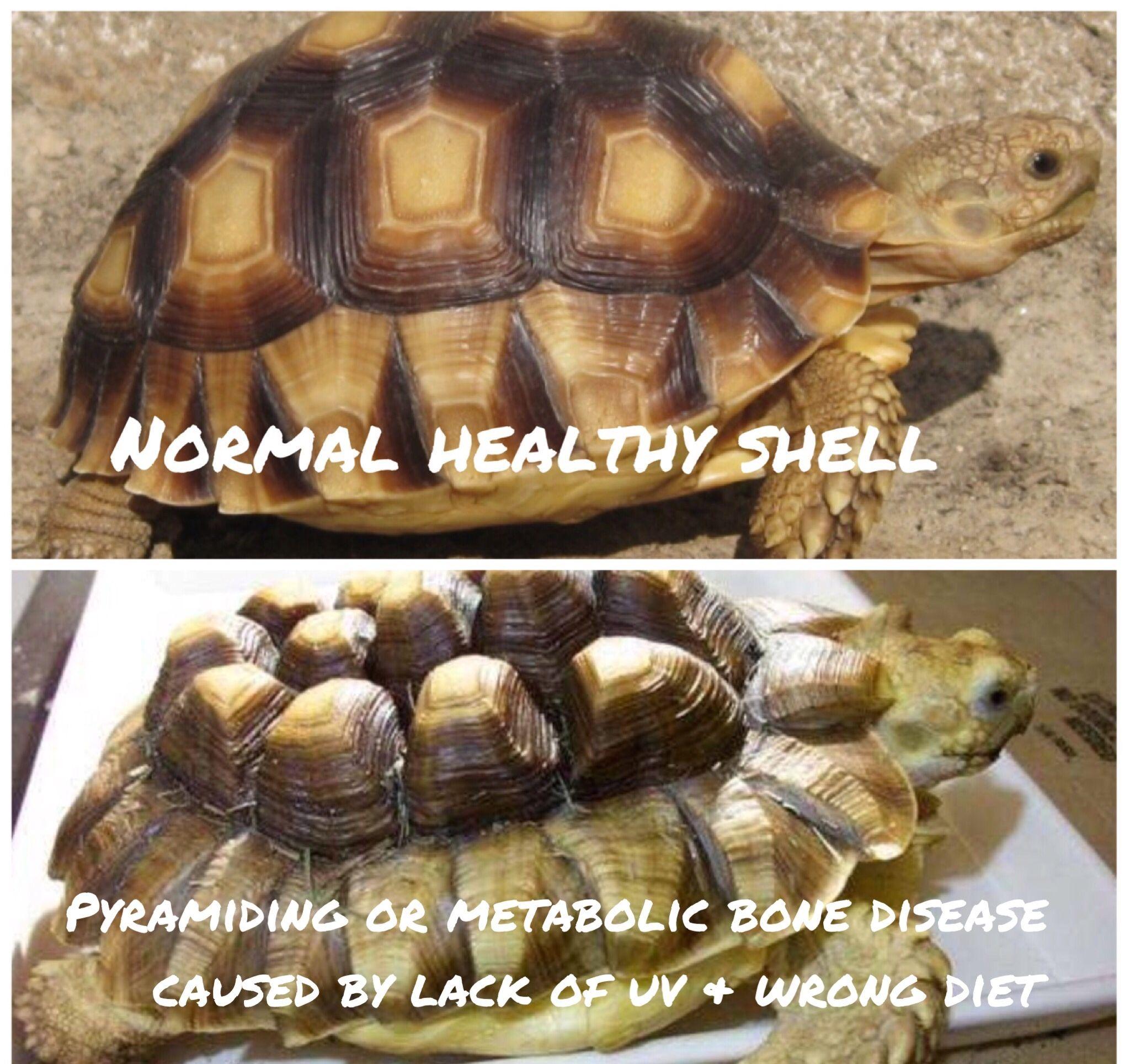 Healthy tortoise shell v pyramiding | Animal Stuff