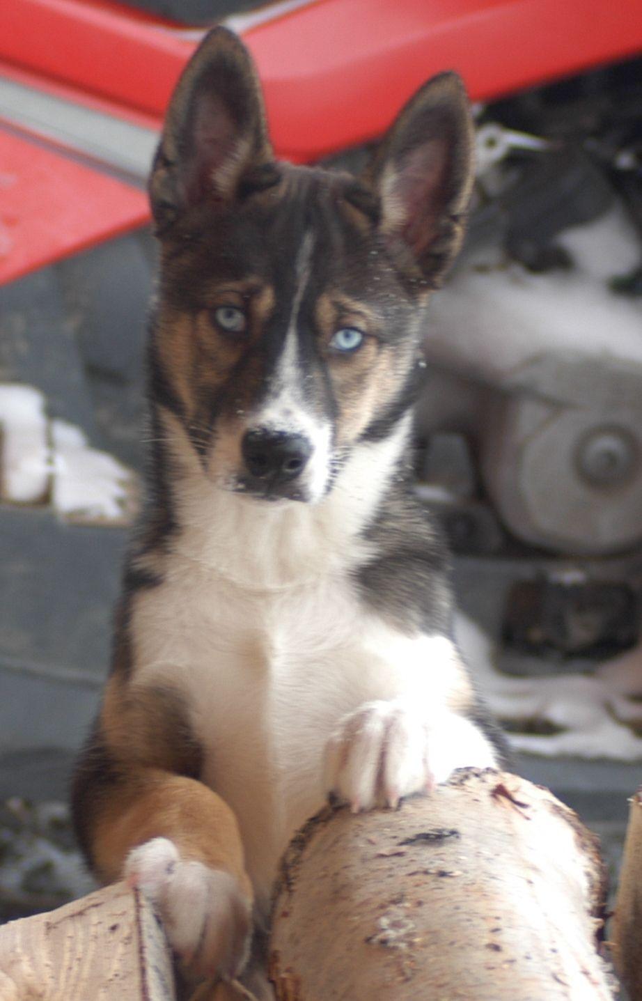 Seppala Siberian Sleddog Puppy Dog Dog Breeds List Dogs Cute
