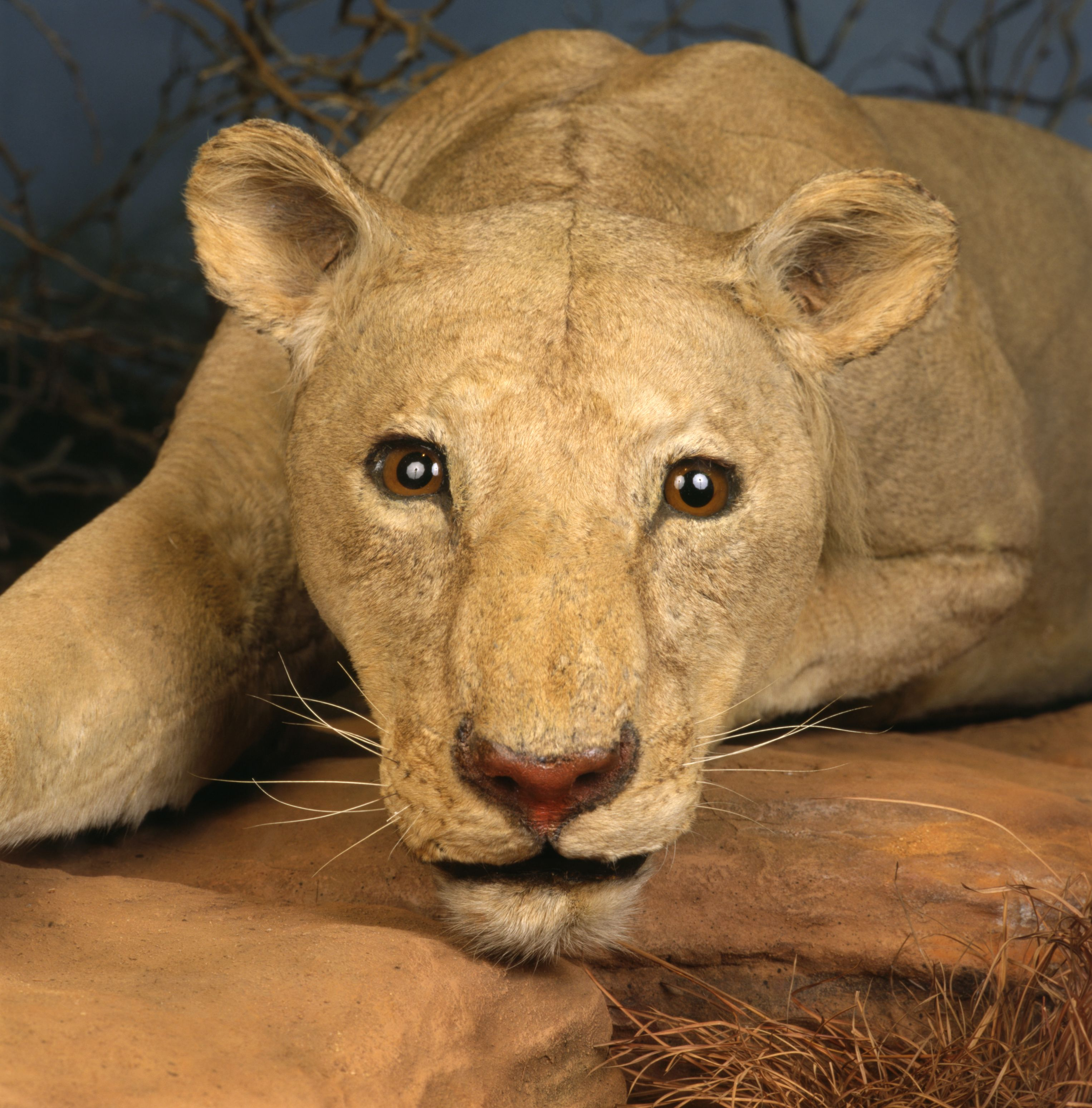 Ghost Museum Of Science: The Man-eating Lions Of Tsavo, Also Known As The Ghost And