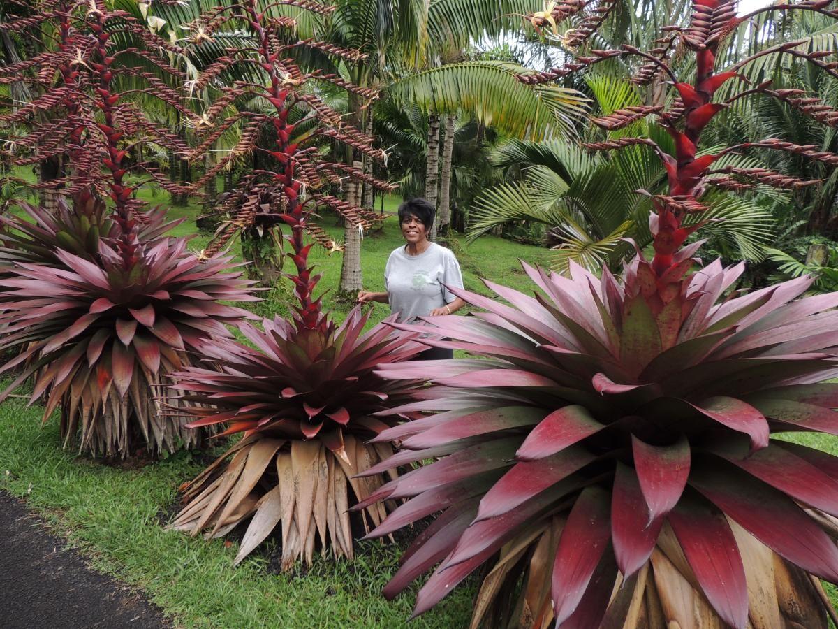 alcantarea imperialis flower Google Search Bromeliads