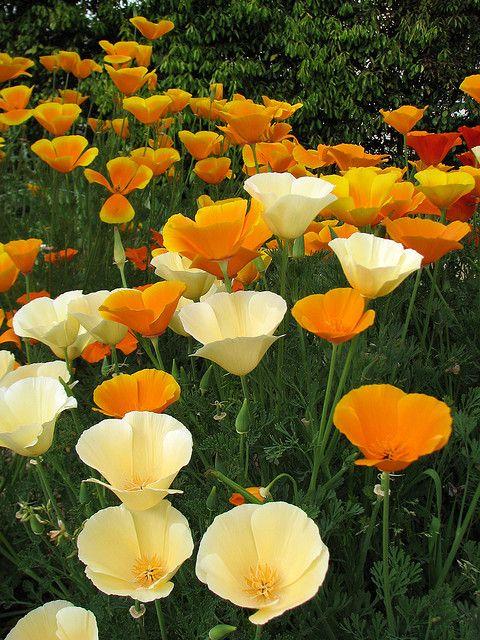 California Poppies Eschscholzia