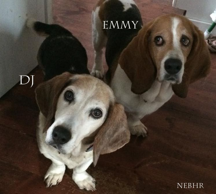 Dj Emmy Available Through New England Basset Hound Rescue