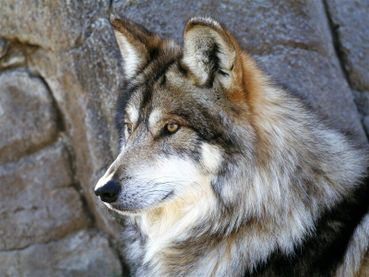 Lobo or Mexican Wolf.