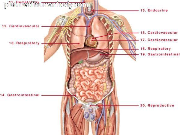 Photos Of Human Body Parts Pictureofhumanbody Recipes