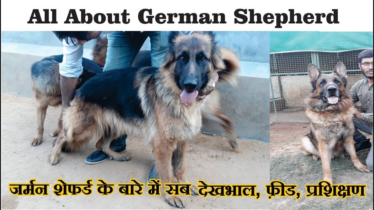 How To Care German Shepherd In Hindi How To Maintain German