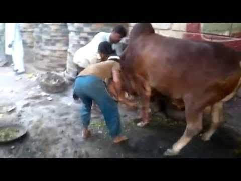 Running of cow-At QURBANI Day-very funny video