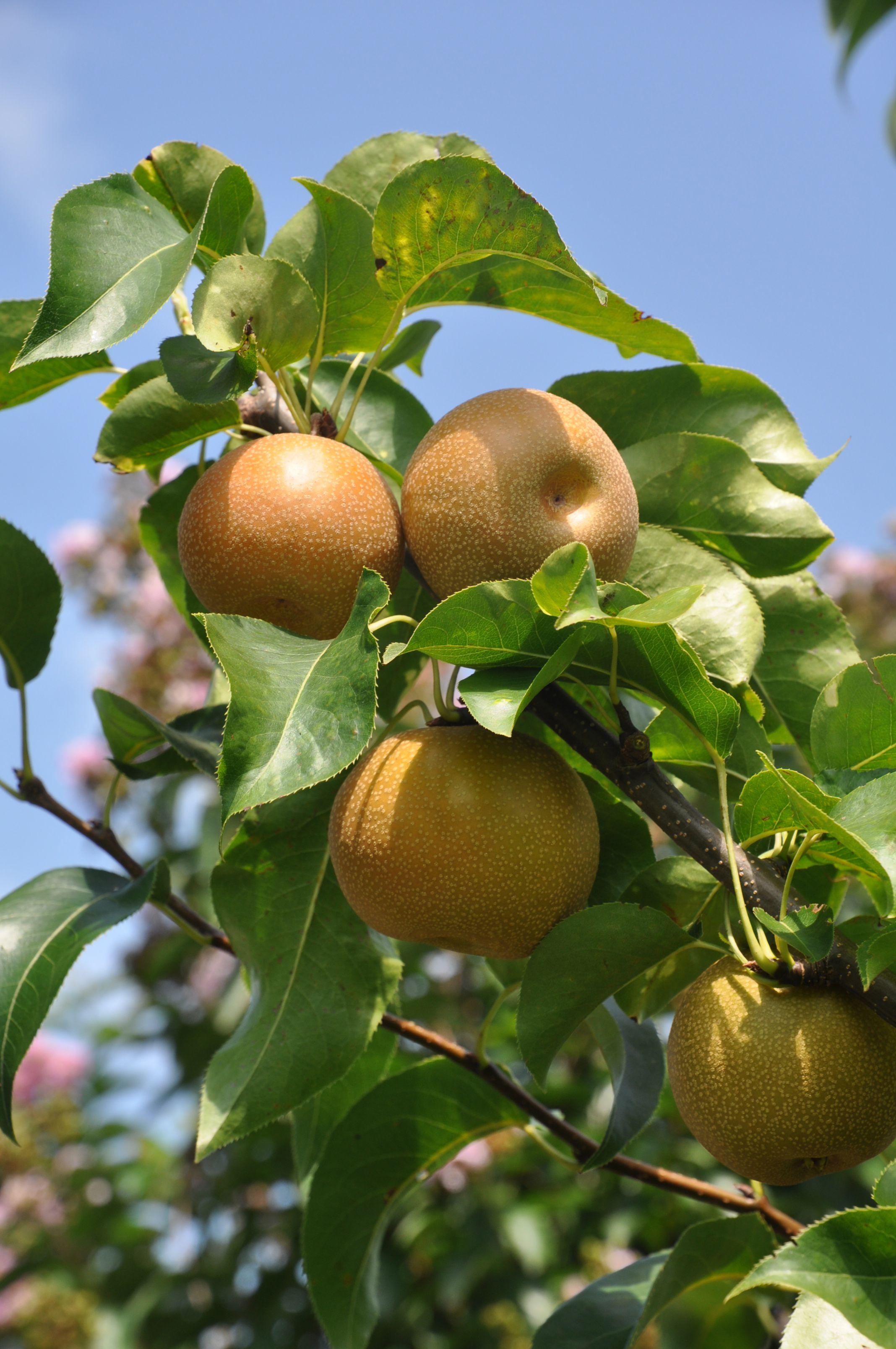 Shinko Asian Pears On Tree