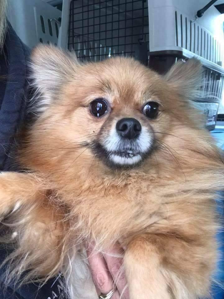 Adopt Dora On Pomeranian Dog Adoption Animal Rescue