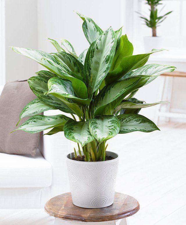 Chinese Evergreen Aglaonema Commutatum Low Light House Plants Best Indoor Plants Large Indoor Plants