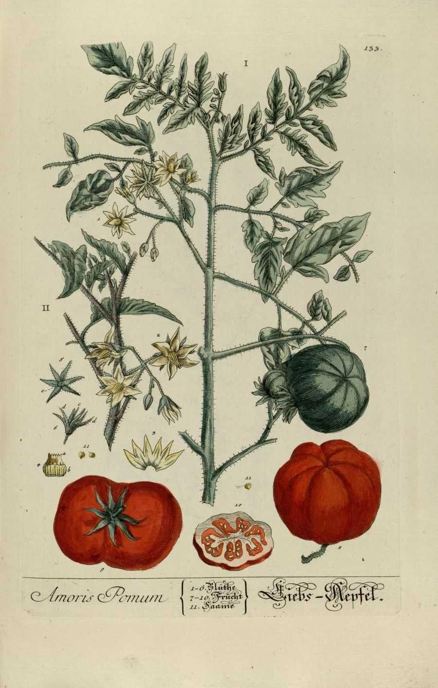 Pingl par nerika sur fleurs en 2019 dessins botaniques illustration botanique et gravures - Tomate dessin ...