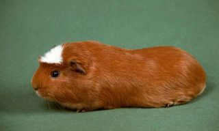 5GuineaPigAmericanCrested Pets Pinterest Guinea