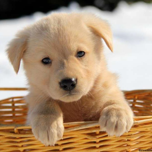 Golden Retriever Beagle Mix Golden Retriever Beagle Mix Cute
