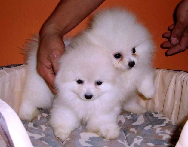Pomeranian Puppies Price In Chennai Zoe Fans Blog Pomeranian