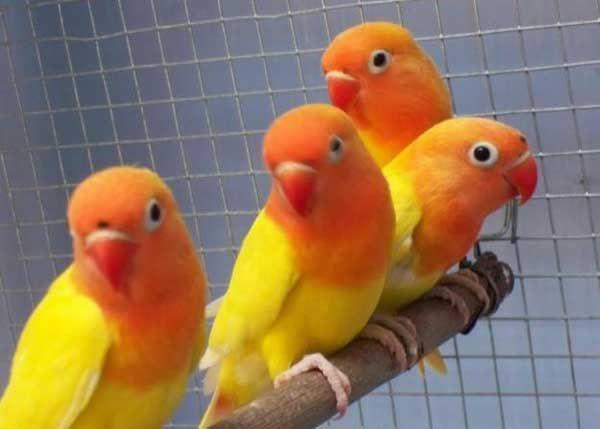 Lovebird Pastel Kuning Aneka Jenis Burung Lovebird Burung Burung Liar Imut