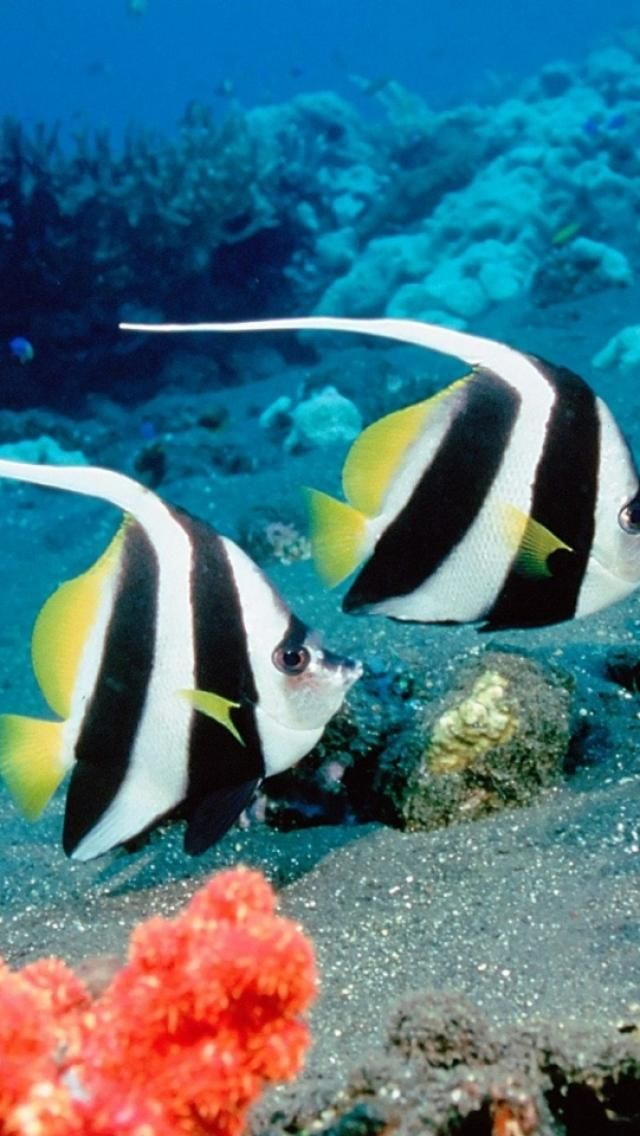 Moorish Idols - Heniochus acuminatus - saltwater underwater, fish, Animals http://inspiredcommunicationsllc.com/