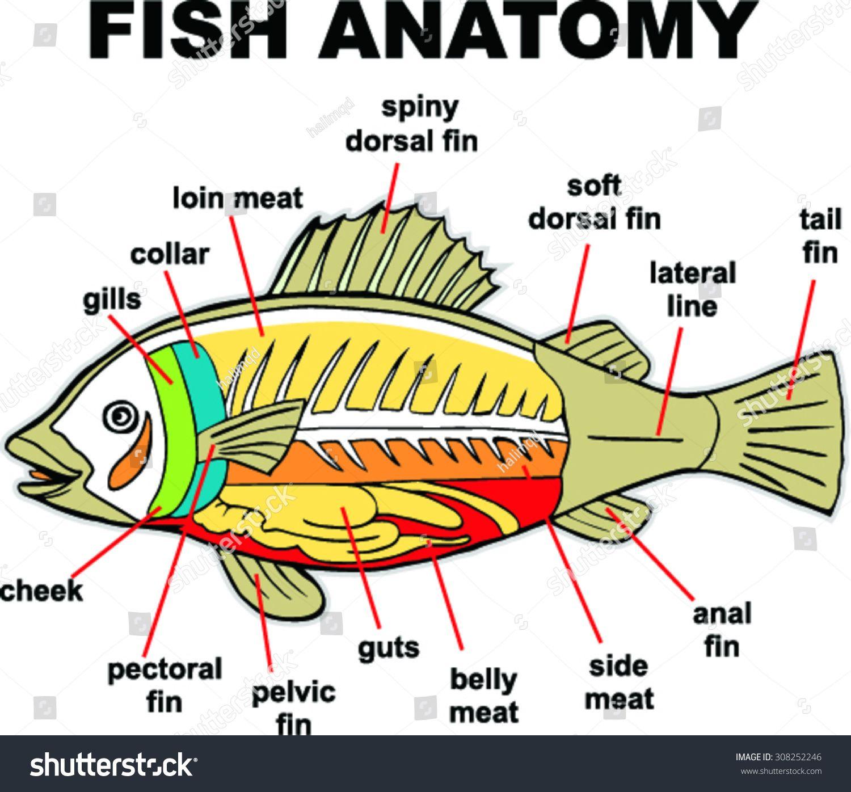 Fish Anatomy Vector Illustration